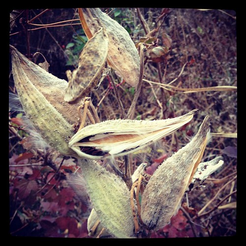 Gently touch the milkweed