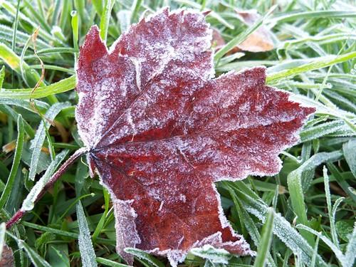 frosty maple leaf