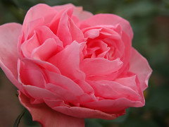 Rose Guy de Maupassant バラ ギィ ドゥ モーパッサン