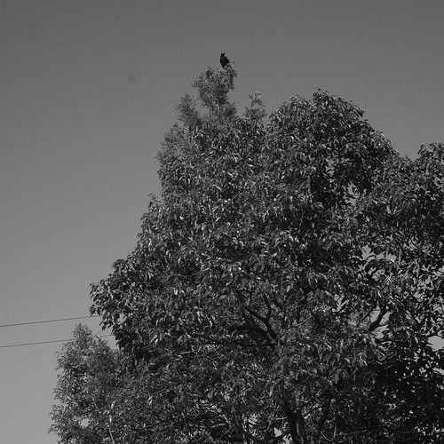 crow, top of the tree