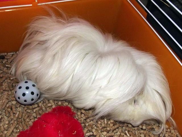 cobaya blanco de pelo largo durmiendo