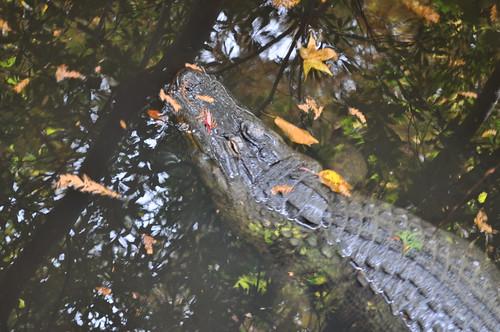 NC Zoo -Alligator (5)