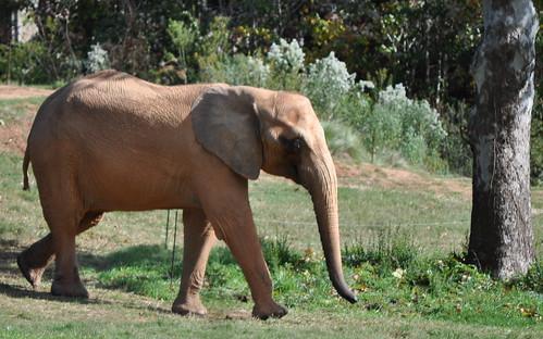 NC Zoo - Elephant (4)