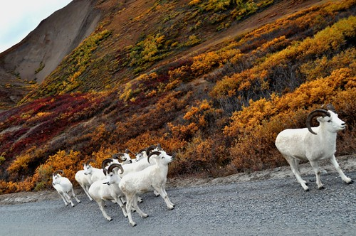 Felt Like the Sheeparazzi Snapping Photos of Dall Sheep, Denali National Park, Aug. 2011