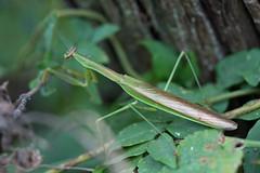 新治市民の森のオオカマキリ(Mantis, Niiharu Community Woods)