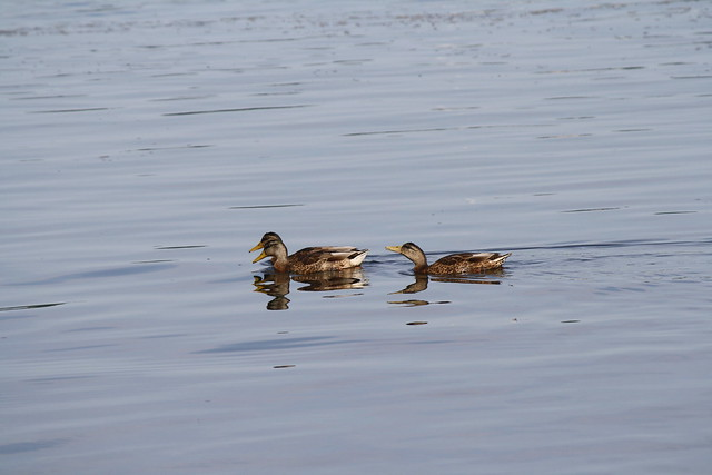 two headed duck! ;-)