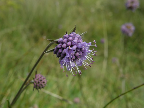 Partially opened devil's-bit scabious