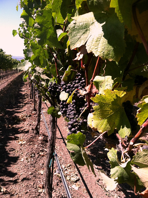 Vineyard 2011 Grapes Pinor Noir.jpg