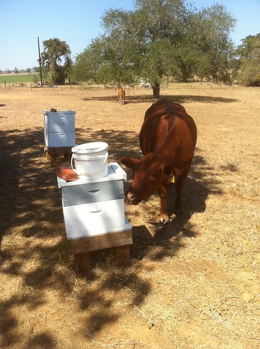 cow at hive gonzales
