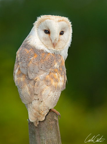 Barn Owl by TheApertureMan