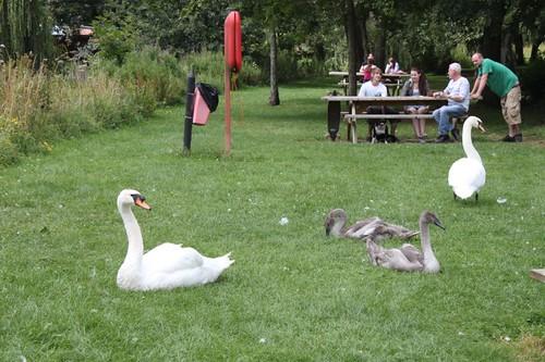 20110805_IMG_1615_swans