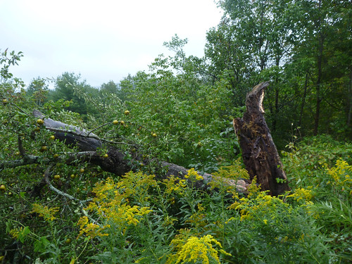 What's left of the Golden Russet tree
