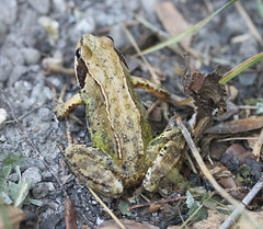 COMMON FROG,RANA TEMPORARIA