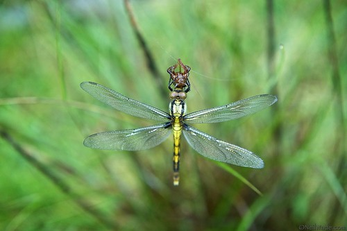 Dragonfly wet