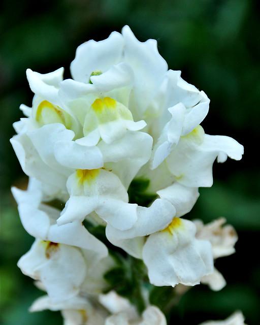 White Snap Dragon Bloom