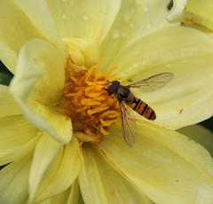 HOVER FLY ON THE DAHLIA