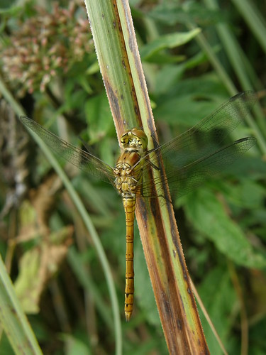 Female common darter again
