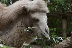 Trampeltier im Zoo de Maubeuge