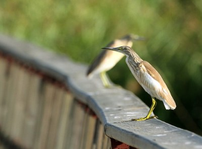 2011_09_13 TAB - Squacco Heron (Ardeola ralloides) 06 by Mike at Sea