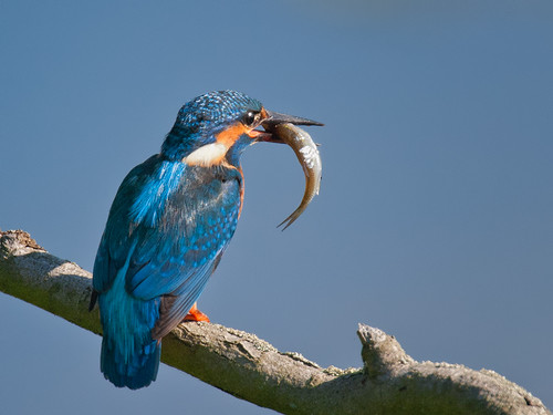 Kingfisher-with large fish