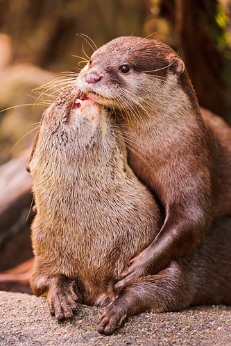 Two otters, one lying over the back of another, an arm around its chest. The otter beneath is arching back to nuzzle at the face of the top otter, as it stares off into the distance.
