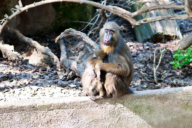 Mono con mirada muy triste en el zoo de Barcelona