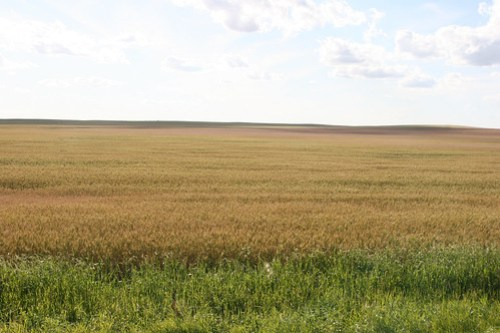 A glimpse of what a lot of the wheat in the area looks like.