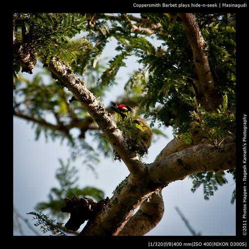 Coppersmith Barbet plays hide-n-seek | Masinagudi