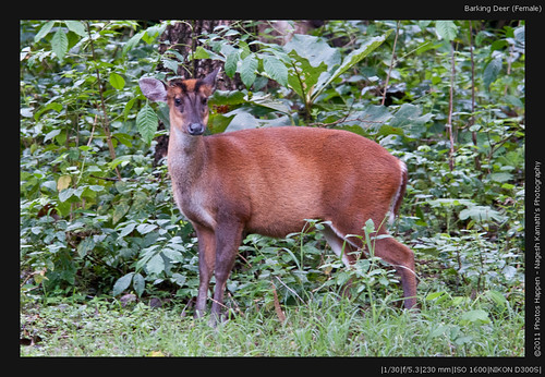 Barking Deer (Female)
