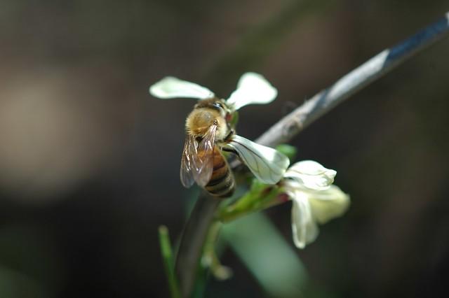 honeybee on arugula