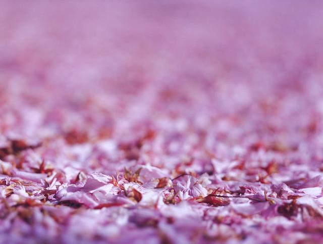 Cerry blossom / sakura