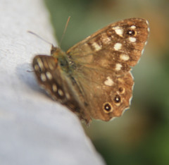 speckled wood, pararge aegeria,  butterfly