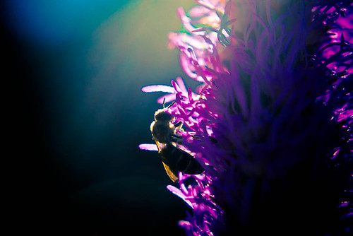 Bee in the Rim Lighting by Terry Schmidbauer