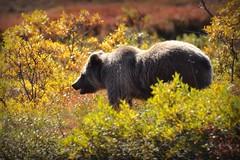 Grizzly Bear - Animal - Wildlife - Alaska