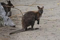 Rotnackenwallaby im Zoo de Maubeuge