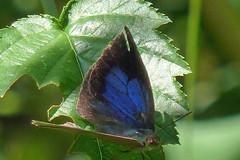 新治市民の森のムラサキシジミ(Butterfly, Niiharu Community Woods)
