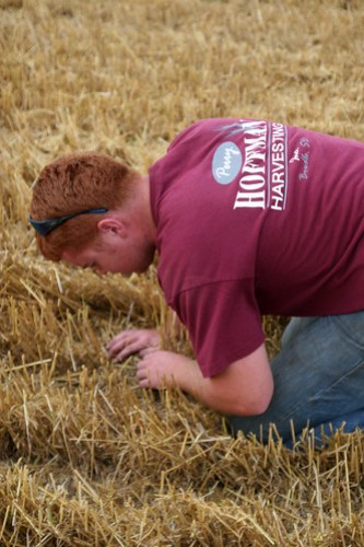 Callum checks to make sure we aren't throwing to much wheat over.