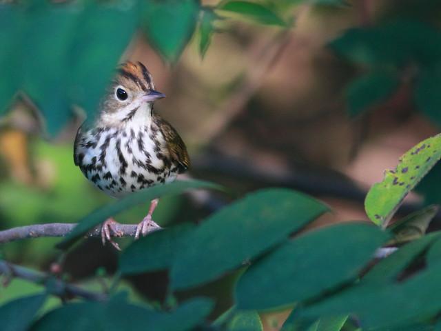 Ovenbird 4-20110916