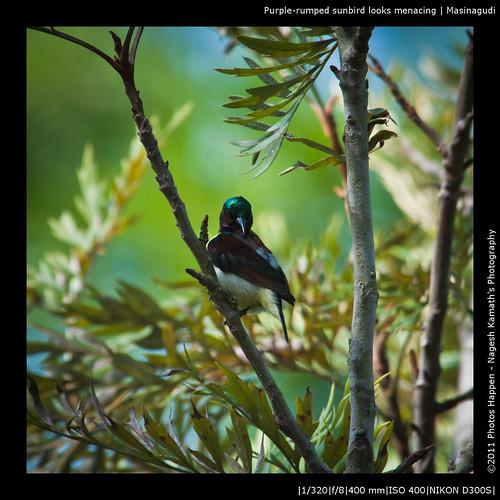 Purple-rumped sunbird looks menacing | Masinagudi