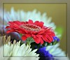 popping red daisy by WITHIN the FRAME Photography