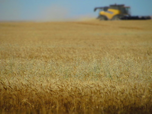 Jordan, Mont., wheat harvest.