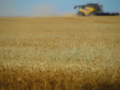 Jordan, Mont., wheat harvest.