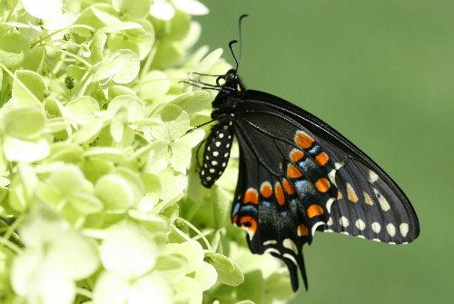 Black Swallowtail, Papilio polyxenes