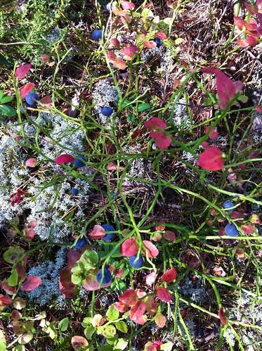 blueberries/bilberries