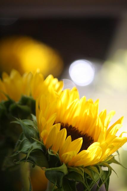 sunny sunflowers (2)