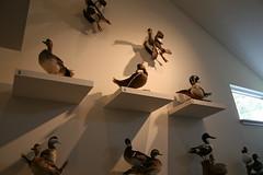 Assorted taxidermy ducks