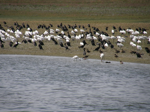 Cormorants and spoonbills
