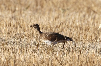 2011_09_12 CDC - Little Bustard (Tetrax tetrax) 01