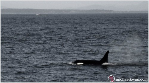 Whale Watching in Steveston (9 of 9)