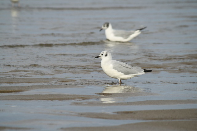 shore birds shuffling feet